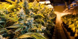 Best High CBD / Low THC Marijuana Strains
