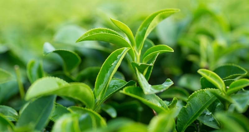 L-theanine green tea